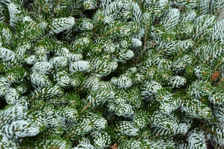 Abies koreana Ice Breaker