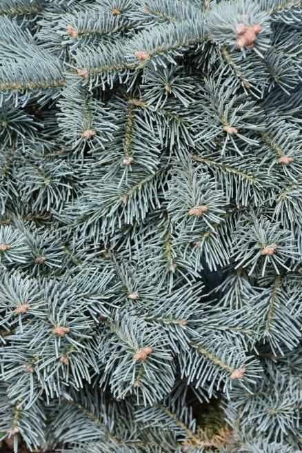 Abies lasiocarpa var arizonica Compacta