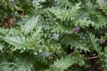 Acanthus sennii 2