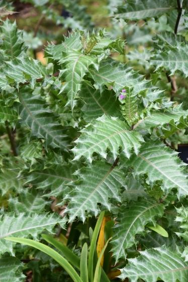 Acanthus sennii