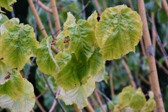 Acer conspicuum Phoenix 2