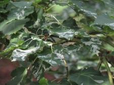 Acer crataegifolium Veitchii