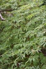 Acer japonicum Green Cascade