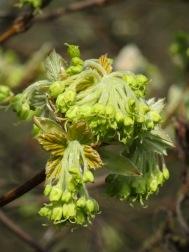 Acer obtusatum