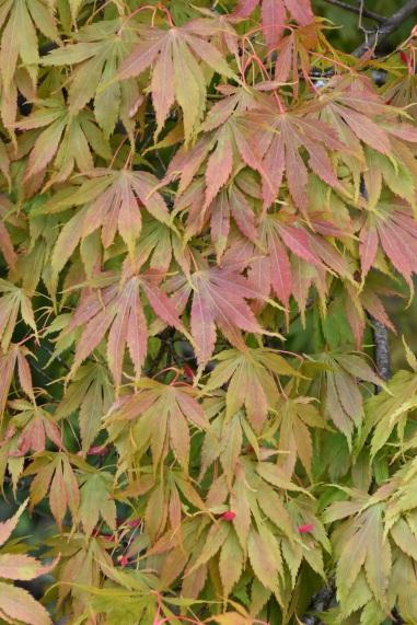 Acer palmatum Elegans (2)