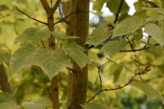Acer rufinerve Erythrocladum 2
