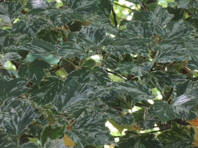 Acer rufinerve Hatsoyuki