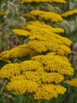 Achillea Coronation Gold