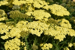 Achillea Sunny Seduction 1