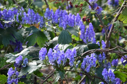 Aconitum helmsleyanum 1