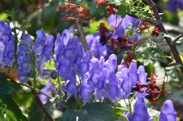 Aconitum helmsleyanum 2