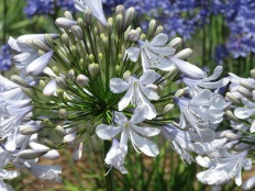 Agapanthus Blue Ice 1