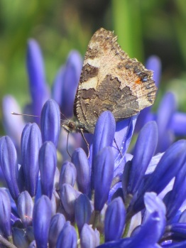 Agapanthus butterfly