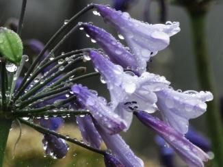 Agapanthus Liams Lilac