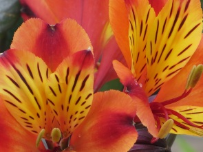 Alstroemeria Indian Summer 1