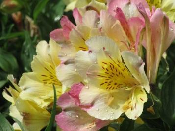 Alstroemeria Intichancha Sunlight 1