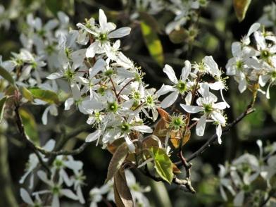 Amelanchier larmarckii