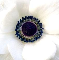 Anemone coronaria white (2)
