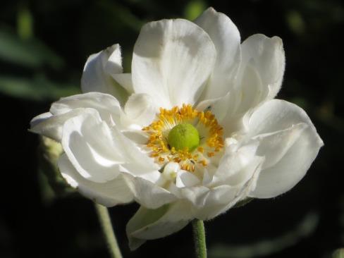 Anemone Honorine Jobert (2)