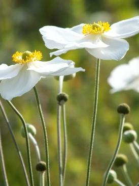 Anemone Honorine Jobert 6