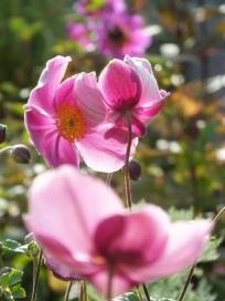 Anemone hupehenis praecox