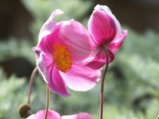 Anemone hupehensis praecox 1