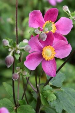 Anemone huphensis Overture