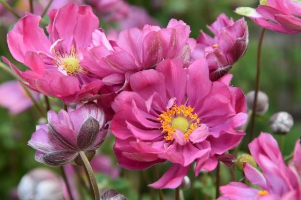 Anemone hybrida Margarete