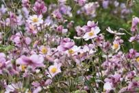 Anemone hybrida Robustissima
