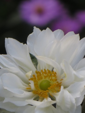 Anemone hybrida Whirlwind 1