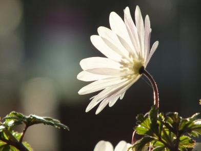 Anemone White Windflower