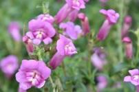 Antirrhinum Pretty in Pink 1