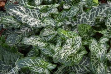 Arum marmoratum italicum