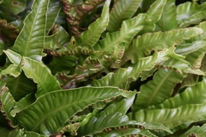 Asplenium scolopendrium Undulatum