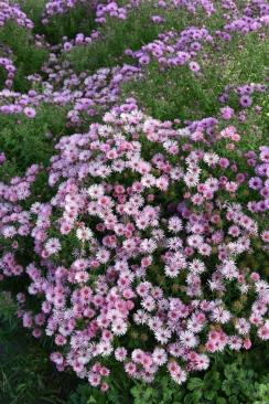 Aster novae angliae Harrington's Pink