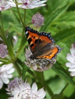 Astrantia butterfly