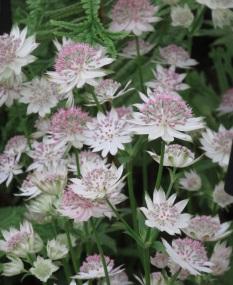 Astrantia major Buckland (3)