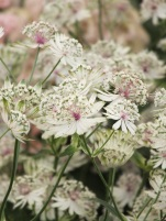 Astrantia major Snowstar