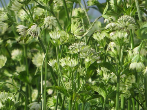 Astrantia major Star of Billion
