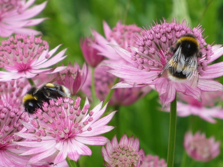 Astrantia Roma Bees 1