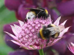 Astrantia Roma Bees