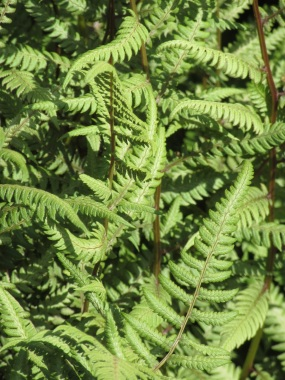 Athyrium Branford Beauty (2)