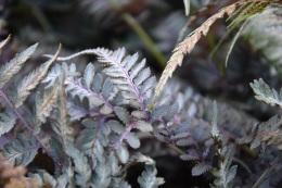 Athyrium niponicum pictum Red Beauty