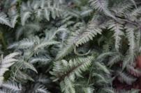 Athyyium niponicum var pictum 1