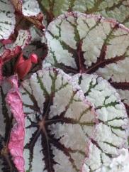 Begonia Fedor 1