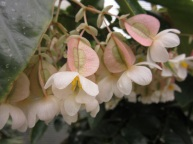 Begonia Lauries Love