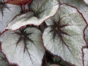 Begonia Mikado 1