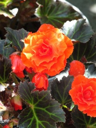 Begonia non stop Mocca Orange