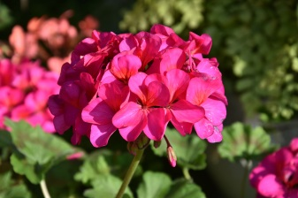 Begonia Sterling Stent