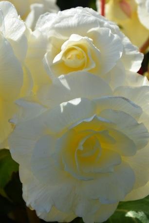 Begonia Whispers